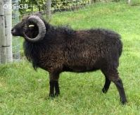 Proven 3 year old Ram for Sale