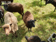 Wethers for Sale